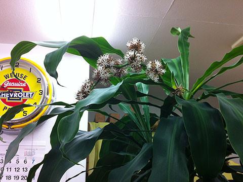 幸福の木の花が須崎動物病院で咲きました
