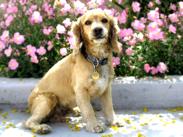 Cockerspaniel750767_1280_2