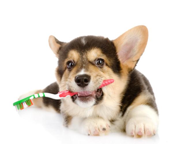犬と歯磨き